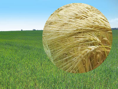 Лечение пшеницы от бактериозов